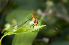 Dragon Fly Royalty Free Stock Images