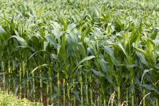 Free Field Of Maize In The Summer Royalty Free Stock Photos - 15067608