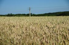 Free Wheat Fields Stock Photos - 15067633