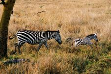 Zebra Mother With Cub Stock Images