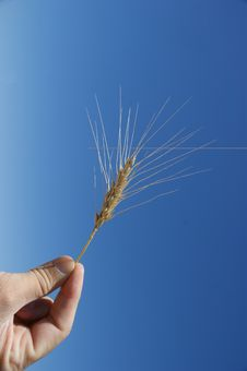 Free Wheat Royalty Free Stock Images - 15069319