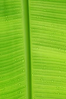 Free Water Droplets On Leaf2 Royalty Free Stock Image - 15069856