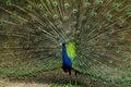 Free Peacock Stock Photo - 15075560
