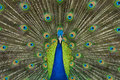 Free Peacock Royalty Free Stock Images - 15075579