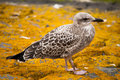 Free Sea Gull Royalty Free Stock Images - 15079009