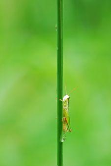 Free Grasshopper Stock Photos - 15070333
