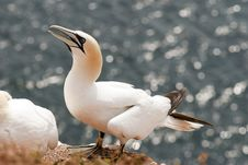 Free Close-up Gannet Royalty Free Stock Image - 15071766