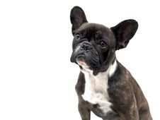 Free French Bulldog Royalty Free Stock Photography - 15073047