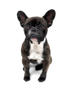 Free French Bulldog Royalty Free Stock Photos - 15073058