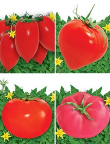 Free Set Of Tomatoes Royalty Free Stock Photography - 15073457