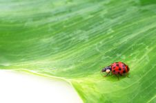 Free Beetle On A Green Leaf Royalty Free Stock Images - 15073619