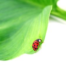 Free Beetle On A Green Leaf Stock Images - 15073644