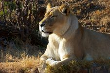 Free Lioness Royalty Free Stock Image - 15073826