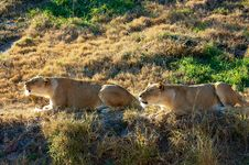 Free Roaring Lionesses Stock Images - 15073894