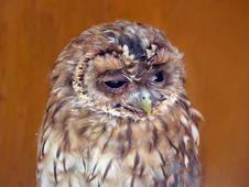 Free Tawny Owl (Strix Alucoo) Royalty Free Stock Photography - 15074037