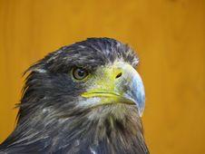 Free Eagle Royalty Free Stock Image - 15074056