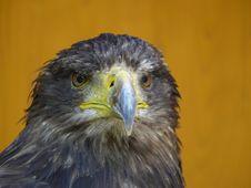 Free Eagle Royalty Free Stock Image - 15074066