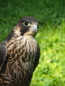 Free Falcon Royalty Free Stock Photos - 15074088