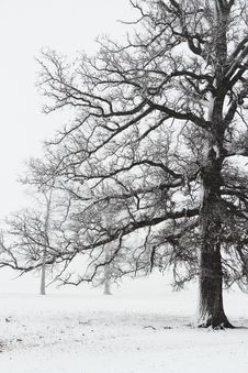 Free Trees In A Snow Storm Royalty Free Stock Photo - 15074155