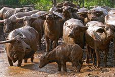 Free Buffalo Stock Photos - 15075093