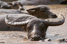 Free Buffalo Stock Photos - 15075103