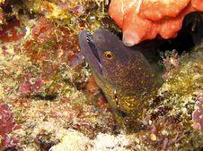 Free Moray Eel Royalty Free Stock Photo - 15075525