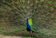 Free Peacock Stock Photo - 15075560