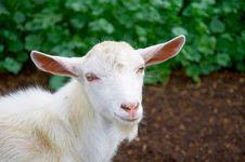 Free Goat Stock Photos - 15075843