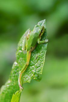 Free Climbing Tree Frog Stock Image - 15076001