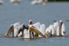Great White Pelicans Flock Stock Photography