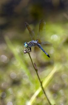 Free Dragonfly Royalty Free Stock Photography - 15077627