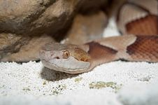 Copperhead Rattlesnake Stock Images
