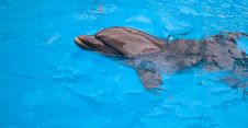 Free Dolphin In A Pool Royalty Free Stock Images - 15077879