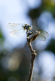 Free Dragonfly Royalty Free Stock Image - 15077936