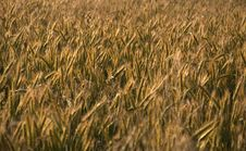 Free Rye Field Stock Photography - 15078132