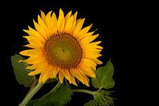 Free Sunflower, Helianthus Annuus Royalty Free Stock Photos - 15078218