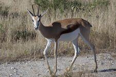 Free Springbok Royalty Free Stock Photography - 15079227