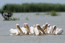 Great White Pelican Flock Stock Photo