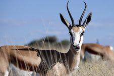 Free Springbok Royalty Free Stock Photography - 15079437