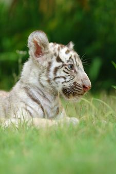 Free Baby White Tiger Stock Photography - 15079562