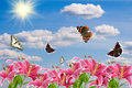Free Pink Lilies And A Butterflies Stock Photography - 15082112