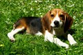 Free Funny Beagle Puppy In  Park Royalty Free Stock Photography - 15087047