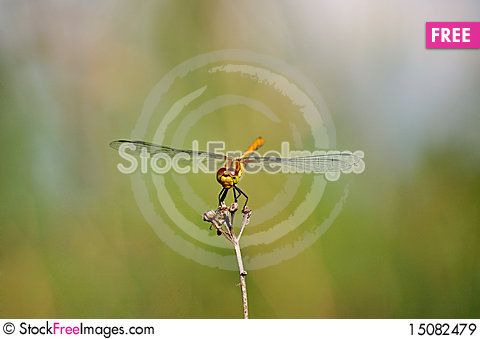 Free Ruddy Darter Yellow Dragonfly On Mild Background Royalty Free Stock Images - 15082479