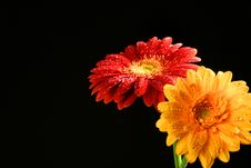 Free Sun Flowers Royalty Free Stock Images - 15080059