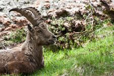 Free Capra Ibex - Italian Alps Stock Photos - 15080823