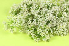 Free Leek Blossom Stock Photo - 15080890