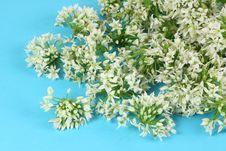 Free Leek Blossom Stock Image - 15080921
