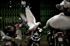 Free Pigeon In The Action Stock Images - 15082064