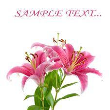 Free Pink Liliy Royalty Free Stock Image - 15082096