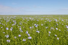 Free Blue Flower Field Royalty Free Stock Photography - 15082447